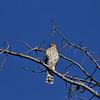 A juvenile Cooper's Hawk