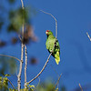A wild Red-crowned Parrot in a Camphor tree