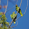 A pair of wild Red-crowned Parrots in a Camphor tree