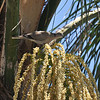 A Eurasian Collared Dove perched in my neighbor's Palm tree. This chunky relative of the Mourning Dove gets its name from the black half-collar at the nape of the neck. A few Eurasian Collared-Doves were introduced to the Bahamas in the 1970s. They made their way to Florida by the 1980s and then rapidly colonized most of North America.
