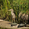 A juvenile Black-crowned Night-Heron with some red-eared slider turtles