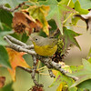 A female Nashville Warbler perched in an Elm tree