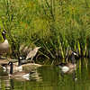 A juvenile Black-crowned Night-Heron, Canada Geese and red-eared slider trutles