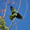 A wild Red-crowned Parrot taking flight