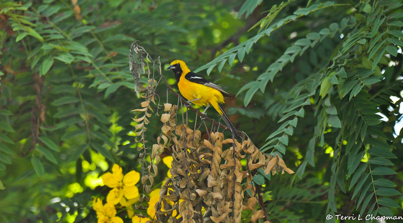 A stunning, male, Hooded Oriole in a blooming Cassia tree