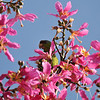 A wild Red-crowned Parrot eating the beautiful blooms from my Silk Floss tree. <br /> <br /> In 1988 the Red-crowned Parrot, a parrot native to northeastern Mexico, was classified as a Threatened Species and upgraded to an Endangered Species by 1994. Although no one knows for sure how this species of parrot (and all the other species of parrots) came to live in California, we know people are the reason, and these birds illustrate the capacity of humans to move wildlife around the planet for economic, social or aesthetic reasons.  With the plentiful food from native and non-plants, and the mild climate, these birds are thriving in Southern California.