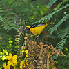 A male Hooded Oriole searching for insects in a blooming Cassia tree