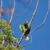 A wild Red- crowned Parrot in a Camphor tree