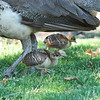 A female Indian Peahen with her peachicks