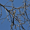 This is a male Pin-tailed Whydah in breeding plumage. This beautiful songbird occurs in much of sub-Saharan Africa, favouring grassland, scrubs and savannah, also coming into parks and gardens. The male species are used in the pet trade, in no small part because they sport spectacular tail-feathers during the breeding season. In some places, the bird has become an introduced wild species when pet birds are let loose or escape from their cages.<br /> <br /> I photographed this particular male in Pico Rivera, California.