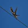 A male American Kestrel taking flight.  This is North America's smallest falcon.<br /> <br /> Hunting for insects and other small prey in open territory, kestrels perch on wires or poles, or hover facing into the wind, flapping and adjusting their long tails to stay in place. <br /> <br /> Unlike humans, birds can see ultraviolet light. This enables kestrels to make out the trails of urine that voles, a common prey mammal, leave as they run along the ground. Like neon diner signs, these bright paths may highlight the way to a meal—as has been observed in the Eurasian Kestrel, a close relative.<br /> <br /> Kestrels hide surplus kills in grass clumps, tree roots, bushes, fence posts, tree limbs, and cavities, to save the food for lean times or to hide it from thieves.
