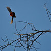 A male Northern Red Bishop in flight after a female. This male had been displaying courtship behavior for a female by flapping his wings, puffing out his feathers, and slowly moving closer to her.  When he got right next to her, she flew off and he flew after her. <br /> <br /> The Northern Red Bishop is native to Africa.  This colorful weaver is a popular cagebird, and escapees have established nesting populations in coastal southern California.