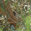 A juvenile Cooper's Hawk perched in a Pine tree