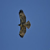 A juvenile Red-tailed Hawk in flight