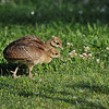 Two Indian Peachicks searching for food in the lawn