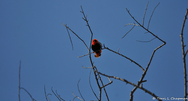 This is a male Northern Red Bishop, that was displaying courtship behavior for a female that was on the lower branches of the tree. The male was flapping his wings, puffing out his feathers, and slowly moving closer to his potential mate. <br /> <br /> The Northern Red Bishop is native to Africa.  This colorful weaver is a popular cagebird, and escapees have established nesting populations in coastal southern California.