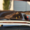 A juvenile Cooper's Hawk taking flight off the roof of my neighbor's car.