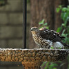 A juvenile Cooper's Hawk cooling down in a bird bath on a 100 degree day.