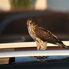 A juvenile Cooper's Hawk perched on top of my neighbor's car!