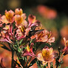 An Allen's Hummingbird in flight over  Alstroemeria, commonly called the Peruvian lily or lily of the Incas.
