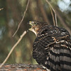 A juvenile Cooper's Hawk calling to its parents who were perched in the tree branches overhead.