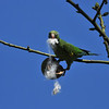A Yellow-chevroned Parakeet pulling out the cotton fiber from a seed pod of the Silk Floss Tree.