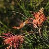 An Allen's Hummingbird sipping nectar from an Australian Grevillea flower
