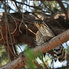 A juvenile Cooper's Hawk with a House Finch. This young hawk was given the meal by its parents that were perched in the tree above the youngster. The parents and the young hawk were constantly calling to one another.