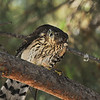 A juvenile Cooper's Hawk perched in a Pine tree. In this image, the Hawk does have a House Finch that it had been eating.
