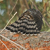 The stunning tail feathers of a juvenile Cooper's Hawk.