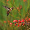 An Allen's Hummingbird in flight