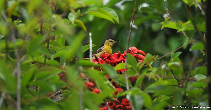 A female Hooded Oriole in a Cockspur Coral Tree from South America