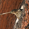 A juvenile Cooper's Hawk perched in a Pine tree.