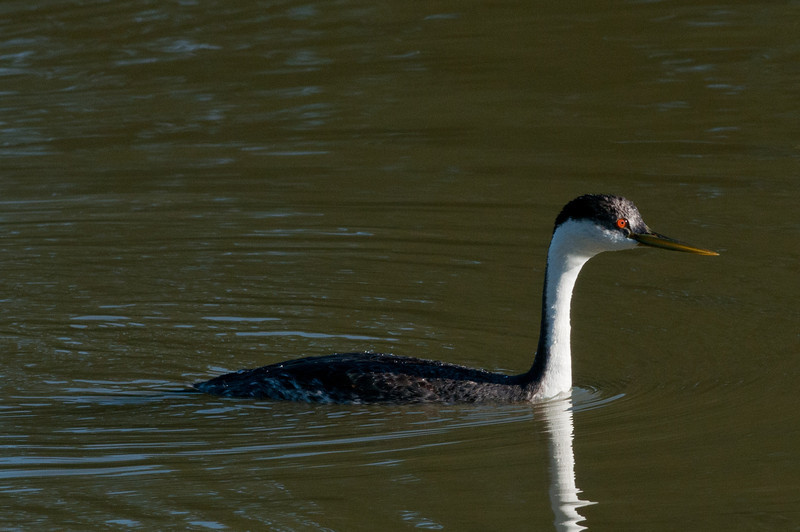 Western Grebe. A diver, it is distinguished by it's long white neck and the fact that the eye is surrounded by black. A very similar Clark's grebe has the eye within the white. This bird visits Sunbeam now and then. Numerous over on Fig Lagoon.