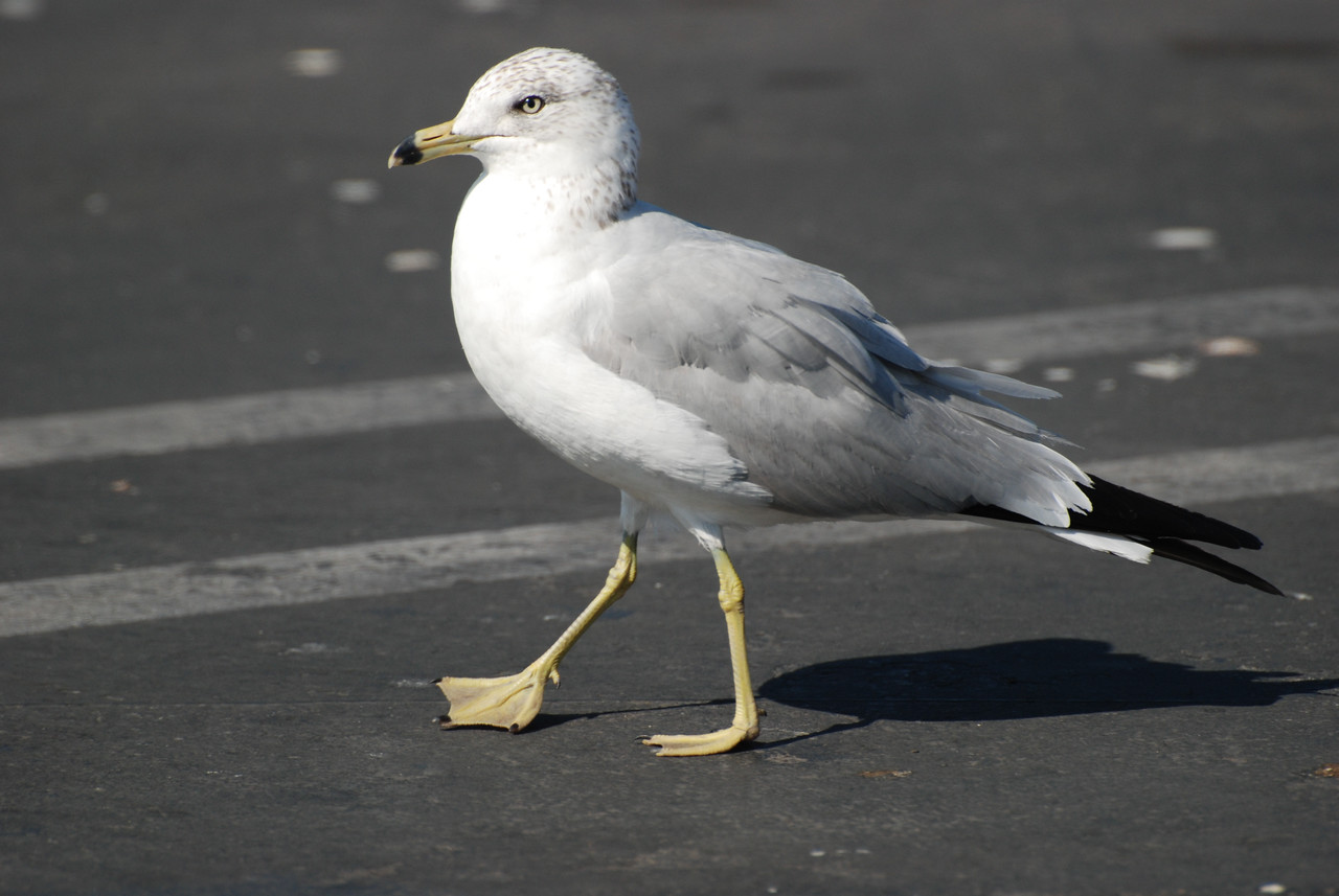 Ring-billed Gull. A common small gull found throughout the valley. Often seen in flooding fields looking for insects and at the Walmart parking lot.