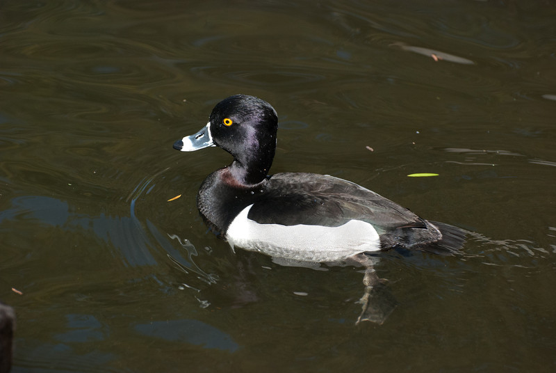 Ring-necked Duck. Uncommon visitor here but shows up singlely or in small groups.