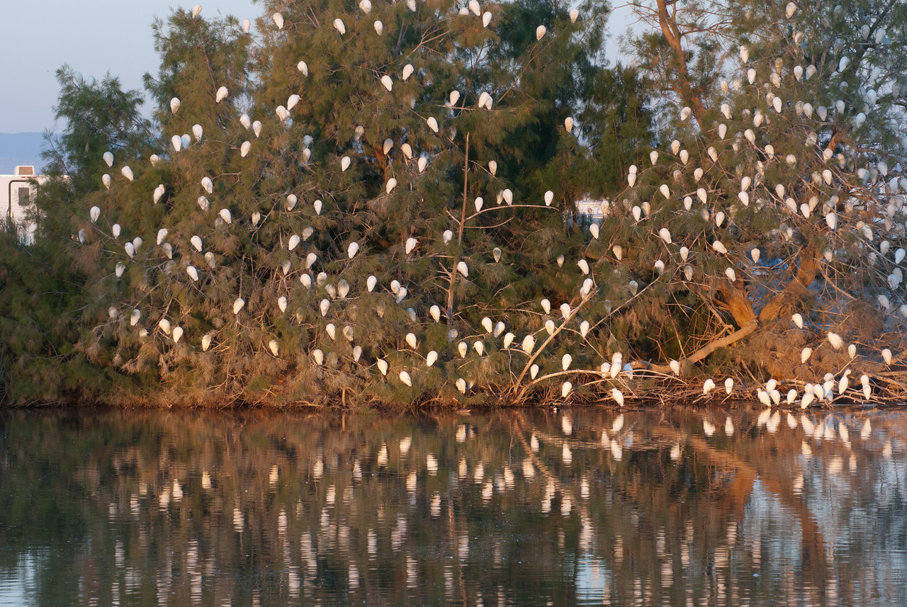 Cattle Egrets on the Roost. This is a small part of the nightly population of Cattle Egrets at upper Sunbeam Lake. These birds roost by the hundreds here each night and are readily seen returning to the roost in loose flocks each evening.