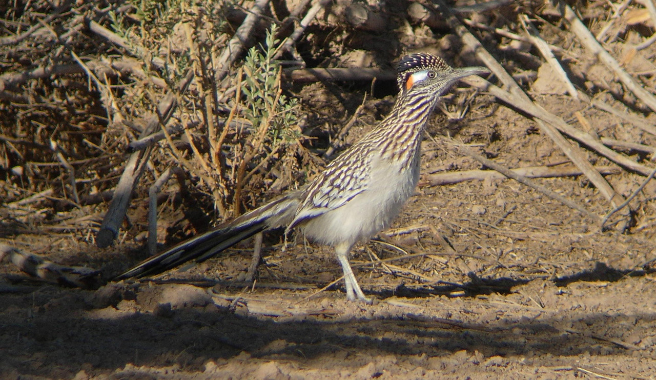 Greater Roadrunner, male. Generally reliably found at edge of field east of the Lagoon (upper lake).