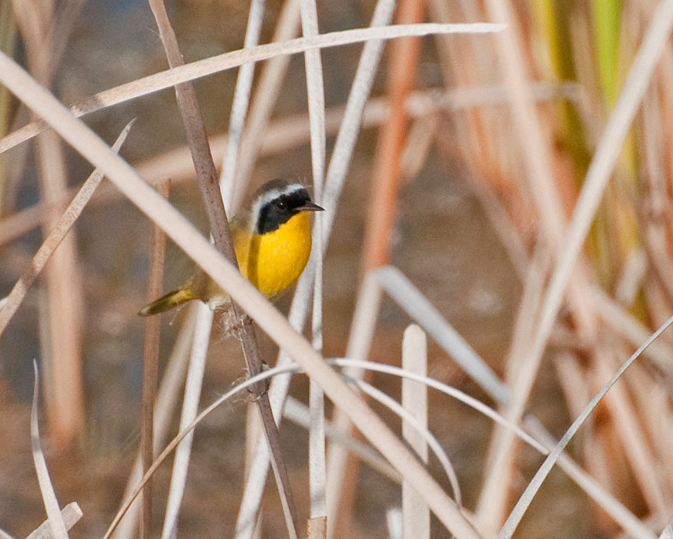 Common Yellowthroat. A wide ranging warbler with a distinctive head. Usually found in dense brush/tules near water. An insect eater that is always on the move. It is a skulker, preferring to stay hidden.