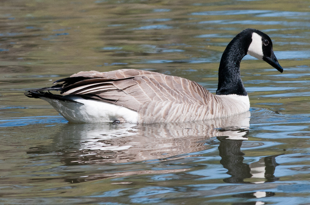 Canada Goose. Uncommon visitor to Sunbeam Lake.