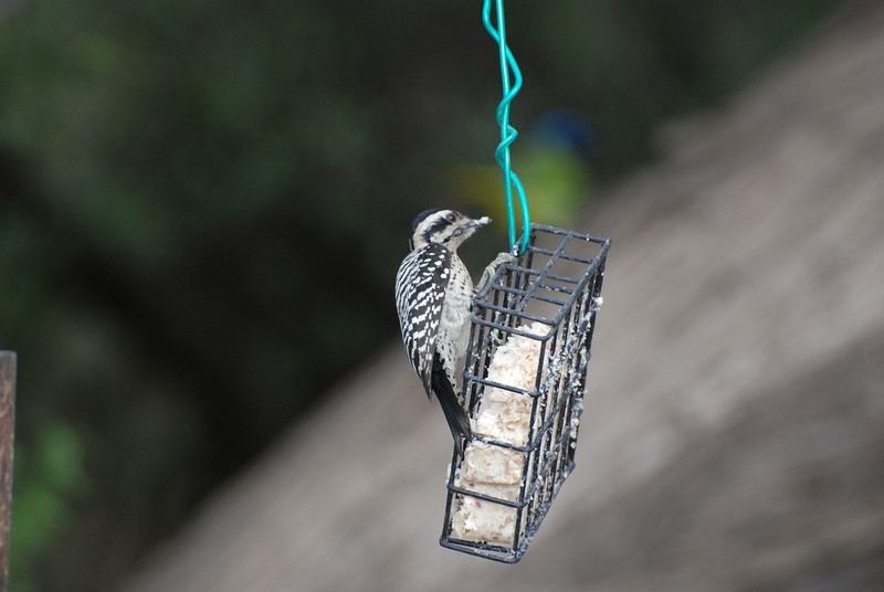 Ladder-backed Woodpecker. Uncommon but possible in trees around lake.
