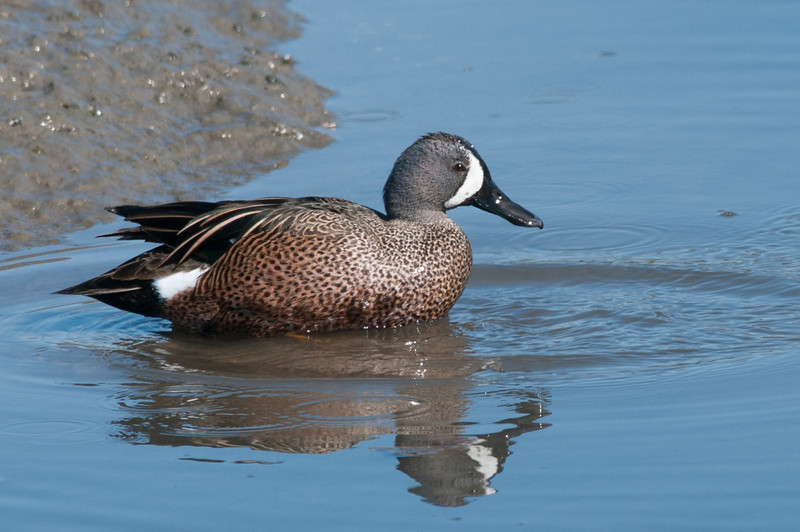 Blue-winged Teal. The facial pattern is key to ID this bird. An occasional winter visitor.