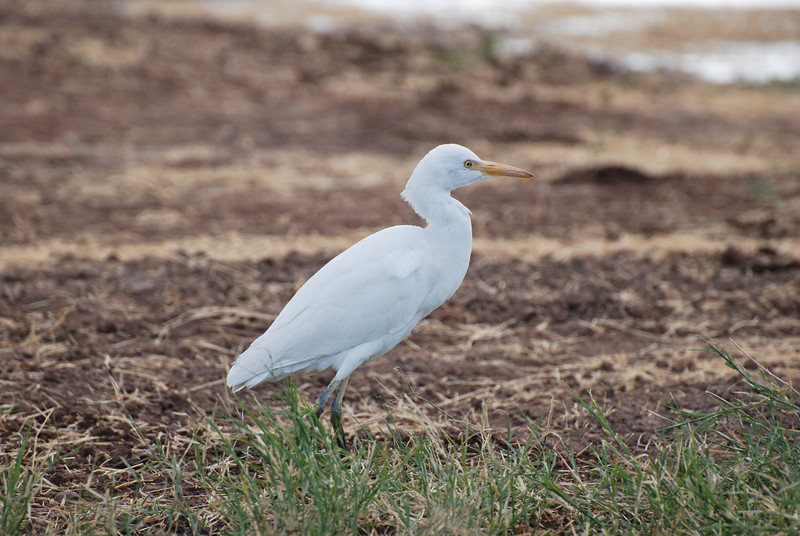 Cattle Egret. Native to Africa. Forages for insects away from water. One of the largest communal night roosts in the U.S. is in the Tamarisk trees at the upper lake, often holding nearly 1000 birds.