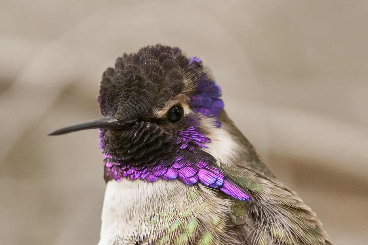 Costa's Hummingbird. Common and readily comes to feeders. More numerous here in November.
