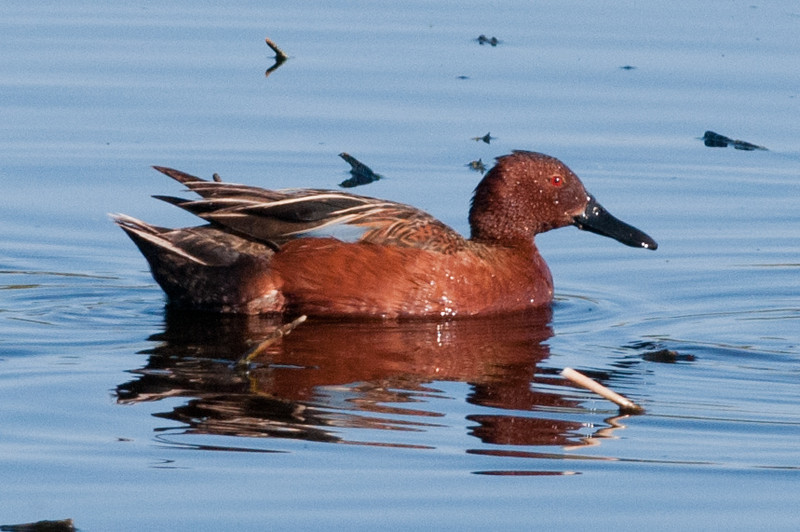 Cinnamon Teal. In February and March in can be found in small numbers on the upper lake.