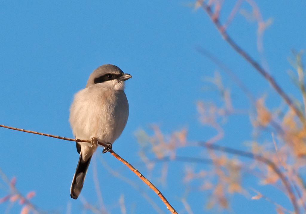 Loggerhead Shrike. Ocaisonally seen perched in upper parts of trees near I-8 on upper lake. Also known as the Butcher Bird for it's habit of impaling it's prey, usually smaller birds, on a thorn or barbwire fence while devouring. Black eye mask and hooked bill is distinctive. Smaller than a robin.