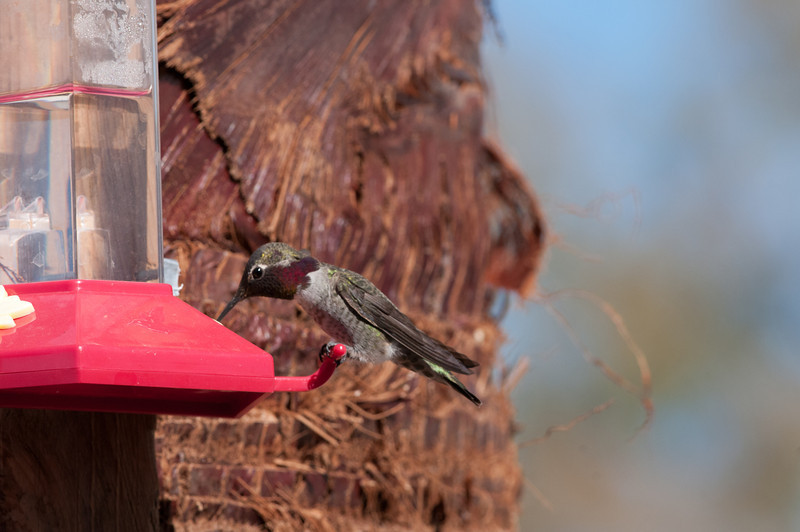 Anna's Hummingbird. Wings shorter than tail, red crown (usually redder on top than here).