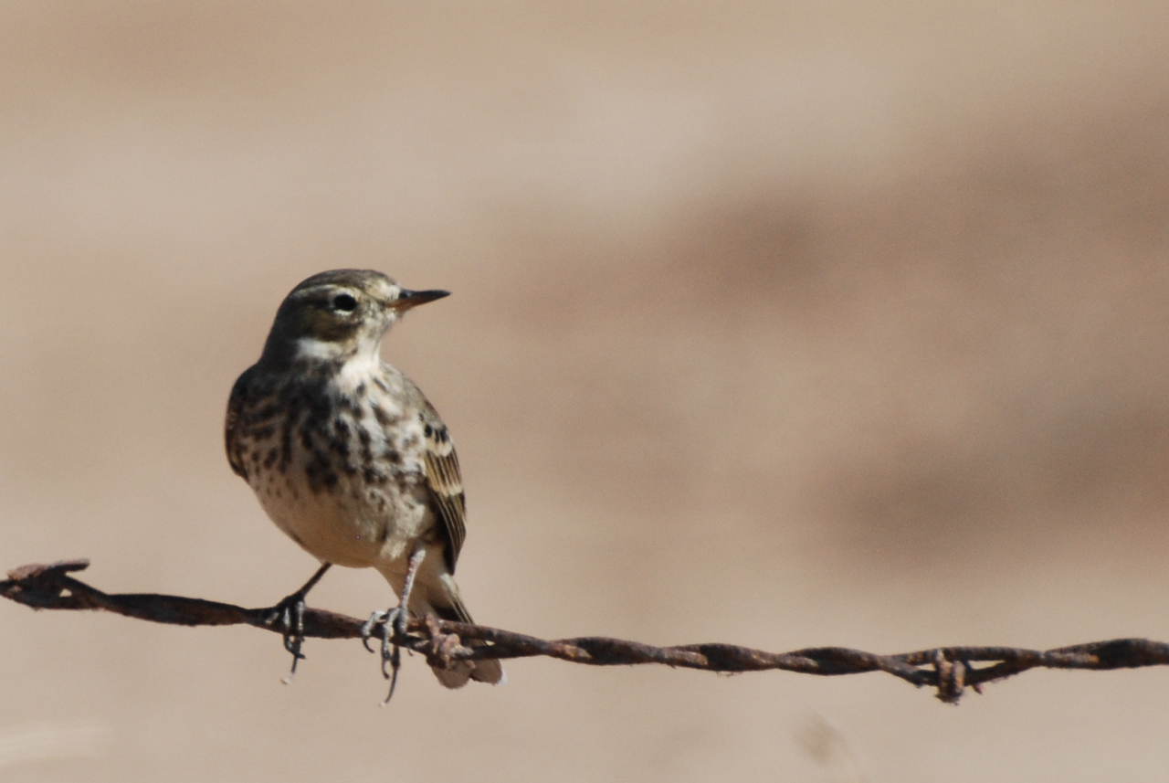 American Pipit. An open field bird occasionally seen on adjacent plowed fields.