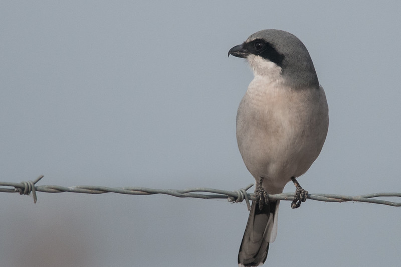 "Also know as the ""Butcher Bird."" It is know to place prey on a ""hook"" like a thorn or barbed wire while it ""dines."" Prey includes small birds and rodents and insects."