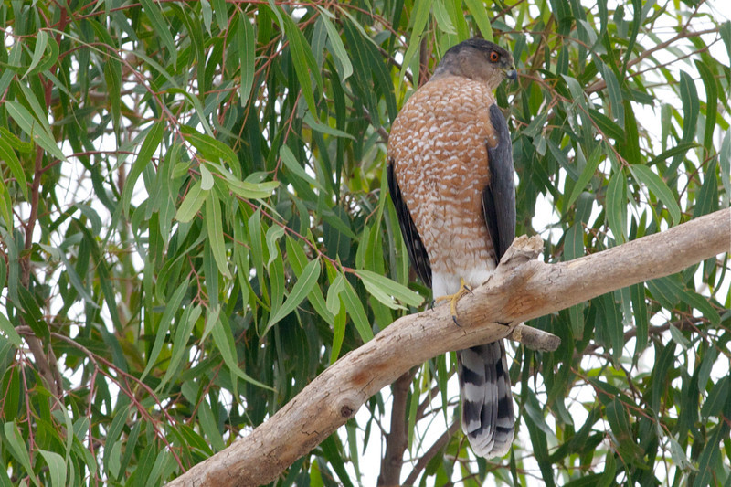 Cooper's Hawk. A small hawk that preys on small birds and mammals. Difficult to distinguish from a Sharp-shinned hawk. Seen moving on the fly around our larger trees.